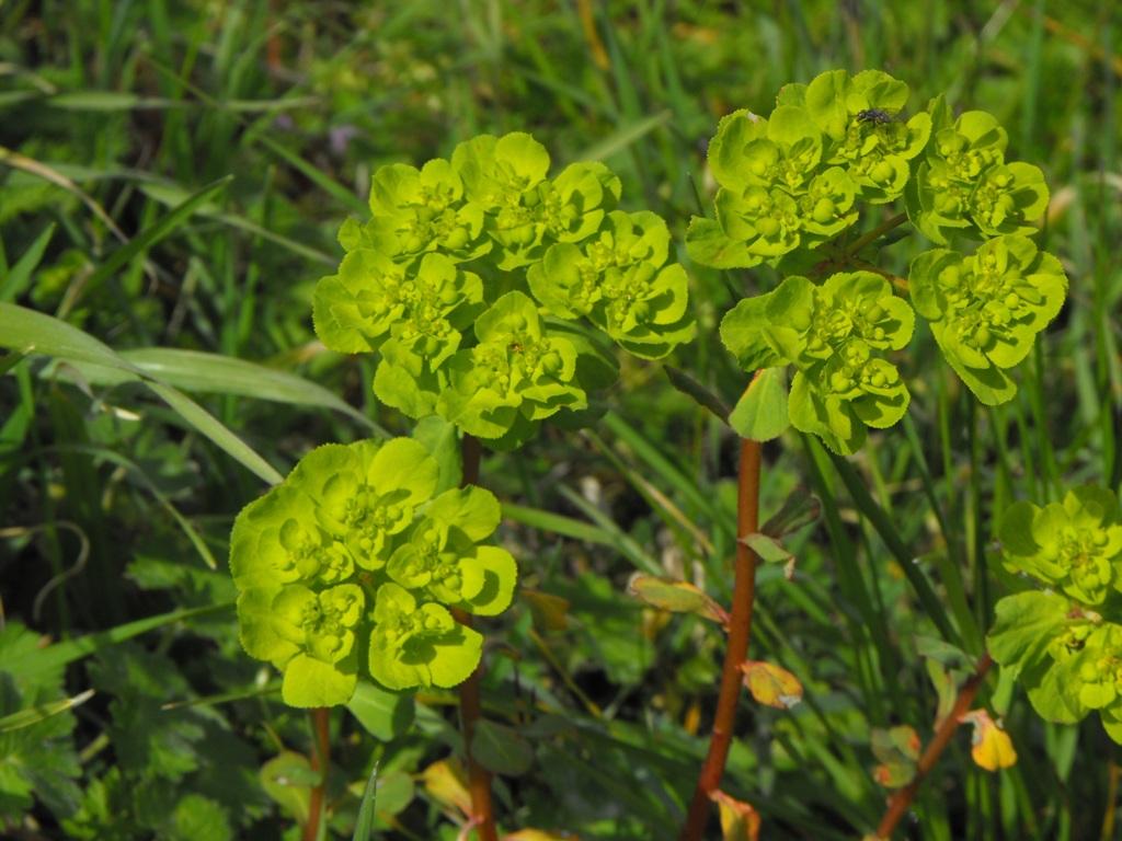 Euphorbia helioscopia