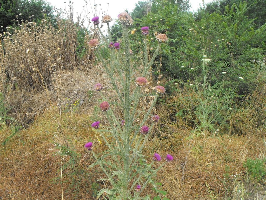 Onopordum illyricum