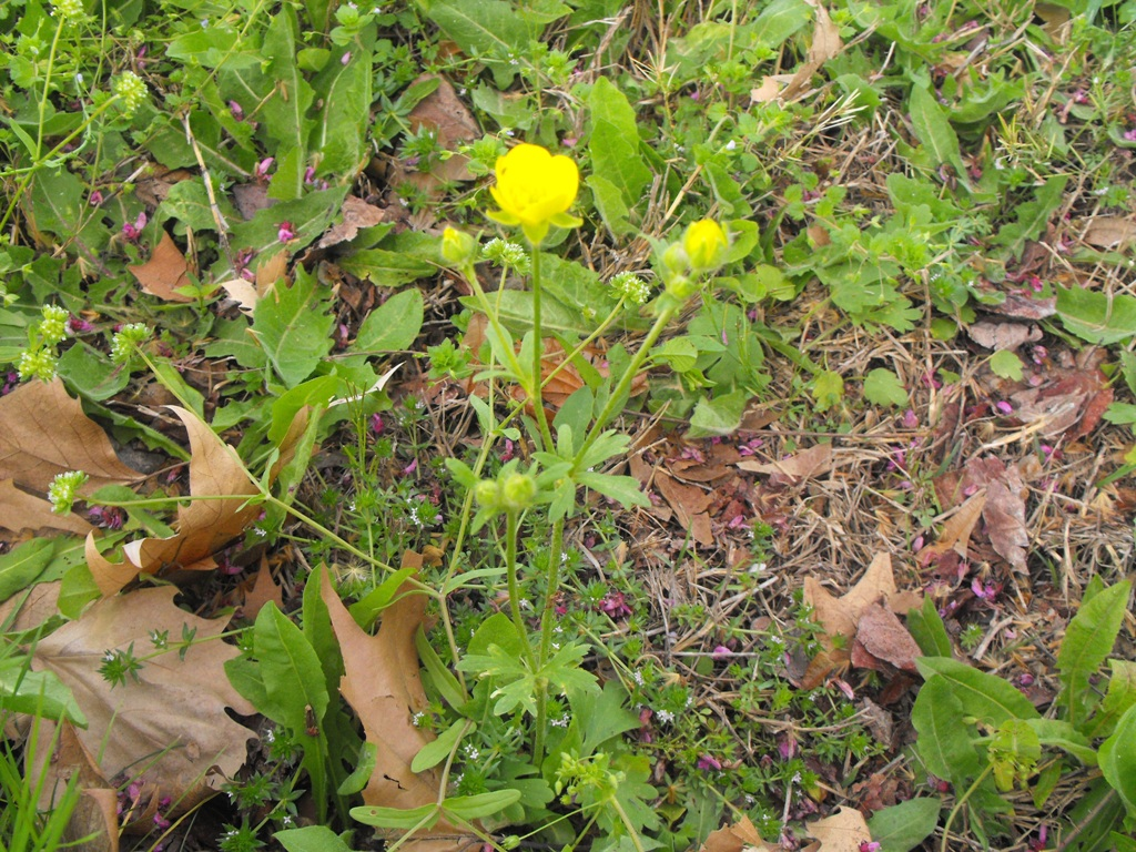 Ranunculus psilostachys